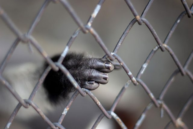 Authorities investigating locals seeking monkeys from the DRC after unlawful cargo intercepted