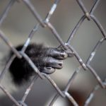 Authorities investigating locals buying for monkeys from the DRC after illegal shipment intercepted