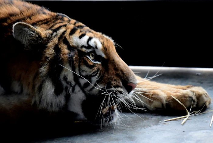 Europe's captive tiger alternate 'dangers spurring illegal query'