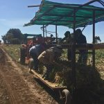 Farmers accuse Authorities of riding dodgy labour by no longer supporting illegal worker amnesty