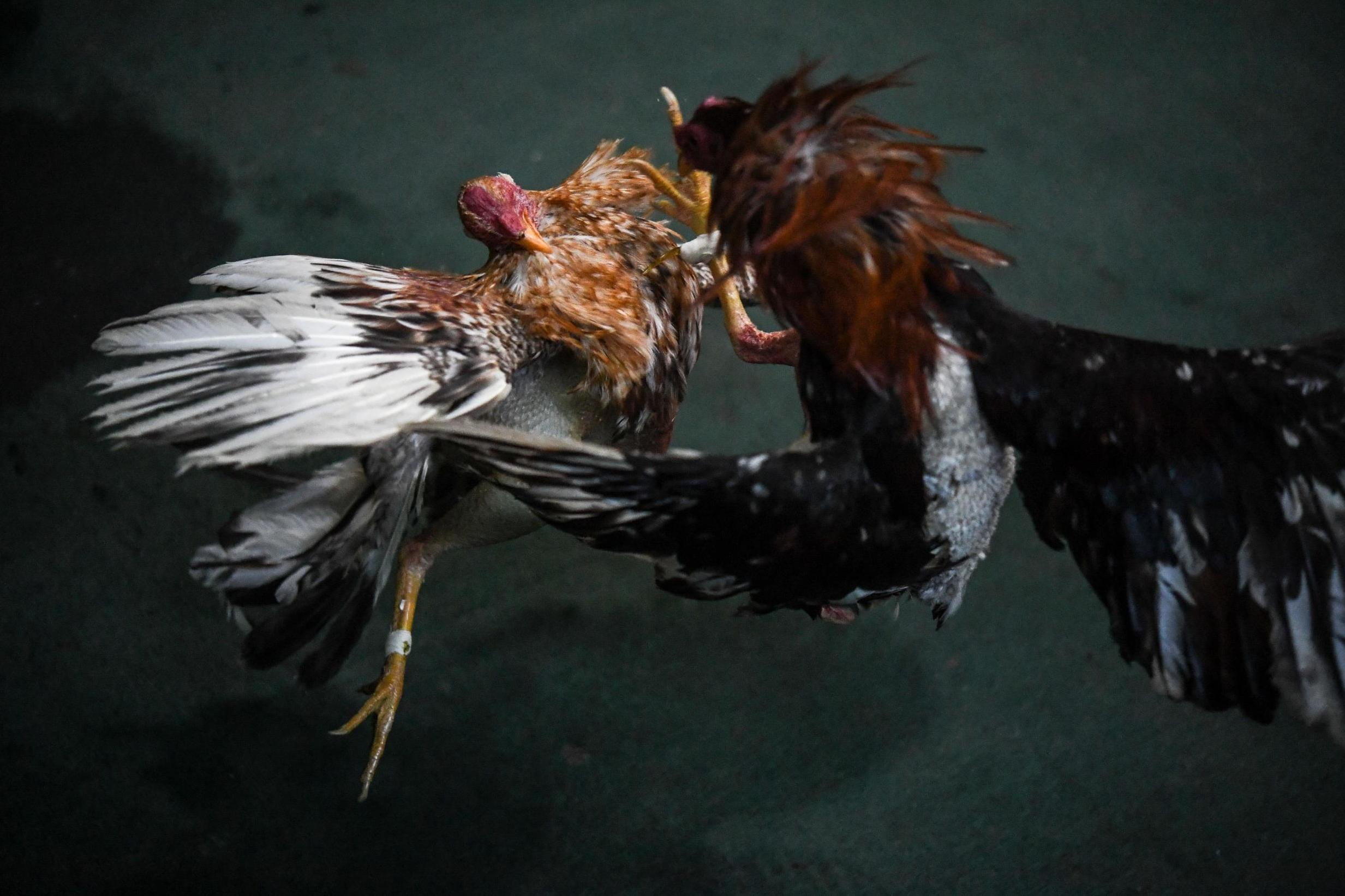 Police officer killed in Philippines after being slashed by rooster at illegal cockfight