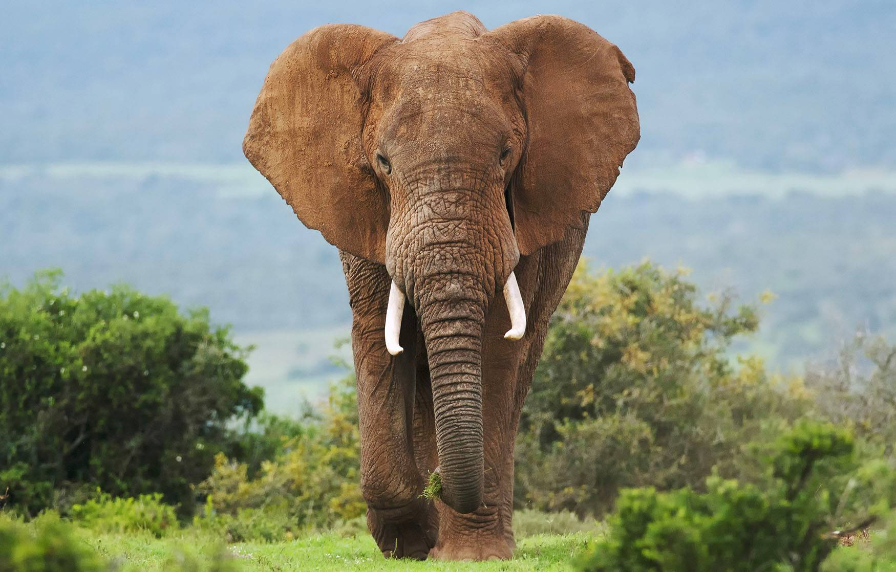 Illegal elephant ivory is promoting on eBay