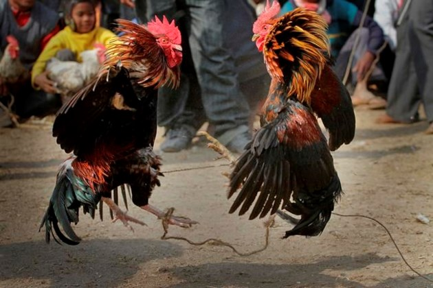 Rooster kills Indian man for the length of banned cockfight