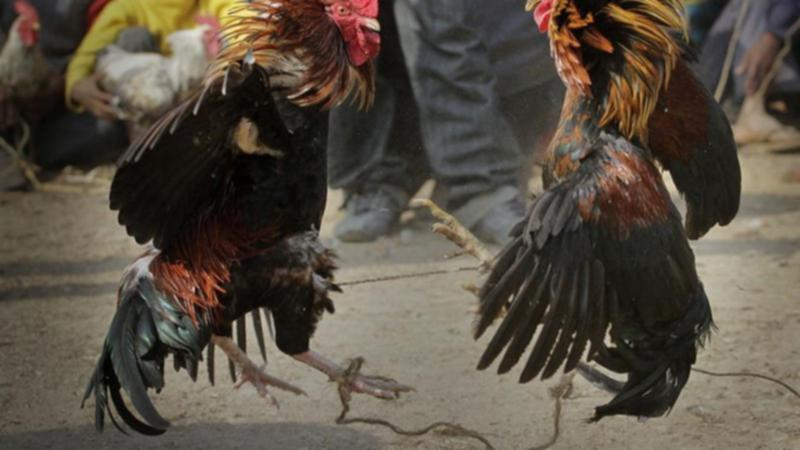 Rooster kills Indian man one day of cockfight