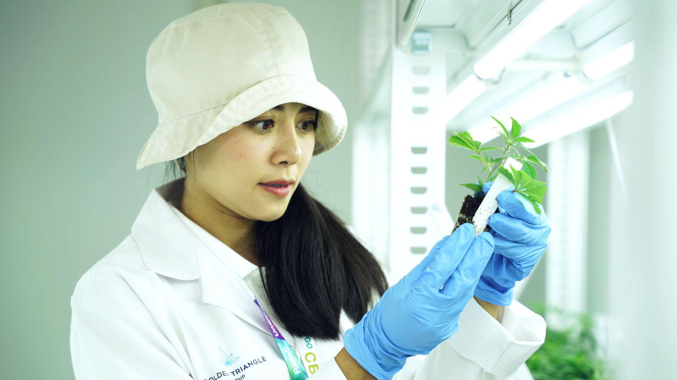 Thai firm grows weed bursting with CBD to rating interaction the 'green mosey'